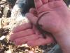 Та самая саламандра – Дальневосточный безлегочный тритон